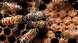 honeybees_in_ive