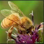 honeybee_150