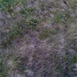 dead_grass150