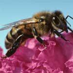 honeybee_150_2